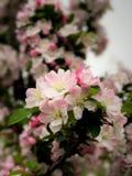 fiore della begonia a Pechino Cina Immagini Stock