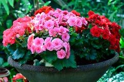 Fiore della begonia in vaso da fiori Fotografia Stock