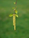 Fiore della betulla Fotografie Stock Libere da Diritti