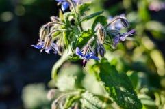 Fiore della borragine (borago officinalis) immagine stock libera da diritti
