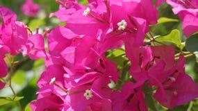 Fiore della bougainvillea in un giardino Fotografia Stock Libera da Diritti