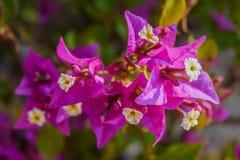 Fiore della buganvillea fotografie stock