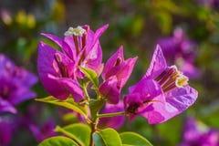 Fiore della buganvillea fotografia stock libera da diritti