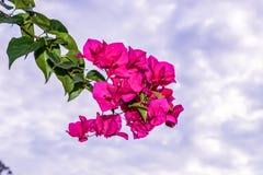 Fiore della buganvillea Immagine Stock