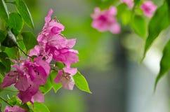 Fiore della buganvillea Fotografia Stock
