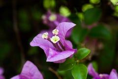 Fiore della buganvillea Fotografie Stock Libere da Diritti