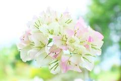 Fiore della buganvillea con il fondo del bokeh fotografie stock libere da diritti