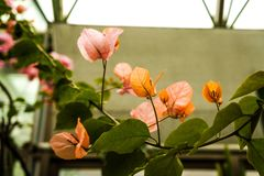 Fiore della buganvillea del giardino botanico fotografia stock