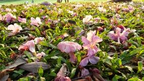 Fiore della buganvillea sulla terra archivi video