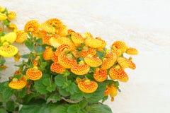 Fiore della calceolaria Immagini Stock Libere da Diritti