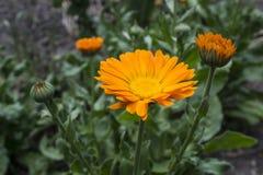 Fiore della calendula, medicina di erbe fotografie stock