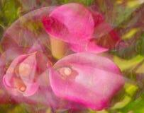 Fiore della calla fotografia stock