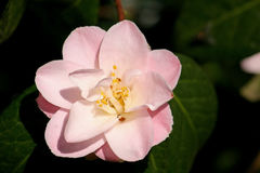 Fiore della camelia Immagini Stock