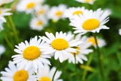 Fiore della camomilla Fotografie Stock