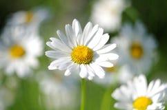 Fiore della camomilla Fotografie Stock Libere da Diritti