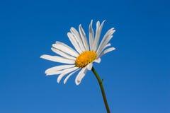 Fiore della camomilla Immagine Stock