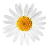 Fiore della camomilla Immagine Stock Libera da Diritti