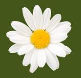 Fiore della camomilla Fotografia Stock Libera da Diritti