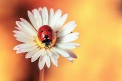 Fiore della camomilla con la coccinella Immagini Stock Libere da Diritti