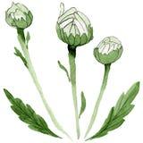 Fiore della camomilla del Wildflower in uno stile dell'acquerello isolato Immagini Stock Libere da Diritti