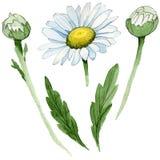 Fiore della camomilla del Wildflower in uno stile dell'acquerello isolato Fotografie Stock