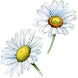 Fiore della camomilla del Wildflower in uno stile dell'acquerello isolato Immagine Stock Libera da Diritti