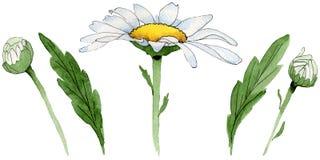 Fiore della camomilla del Wildflower in uno stile dell'acquerello isolato Fotografia Stock Libera da Diritti