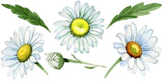 Fiore della camomilla del Wildflower in uno stile dell'acquerello isolato Immagini Stock