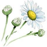 Fiore della camomilla del Wildflower in uno stile dell'acquerello isolato Fotografia Stock