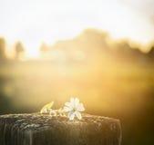Fiore della camomilla su un recinto, con il cielo di luce solare su sfondo naturale fotografia stock libera da diritti