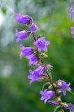 Fiore della campanula Fotografia Stock