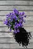 Fiore della campanula in vaso sulla tavola di legno dalla cima Bellflower viola fotografia stock
