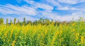 Fiore della canapa del Bengala immagini stock libere da diritti