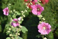 Fiore della canapa del Bengala Fotografia Stock