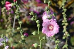 Fiore della canapa del Bengala Fotografia Stock Libera da Diritti