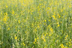 Fiore della canapa del Bengala completamente sviluppato in giardino Immagine Stock