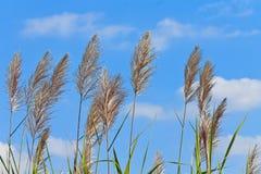 Fiore della canna da zucchero Fotografia Stock Libera da Diritti