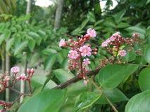 Fiore della carambola fotografia stock