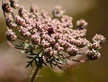 Fiore della carota selvatica Immagine Stock