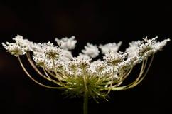 Fiore della carota selvatica del primo piano Fotografie Stock