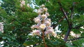 Fiore della castagna Immagine Stock Libera da Diritti