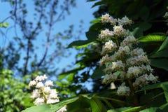 Fiore della castagna Immagine Stock