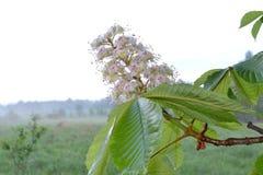 Fiore della castagna Fotografie Stock Libere da Diritti