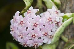 Fiore della cera di Hoya fotografia stock