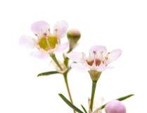 Fiore della cera isolato fotografia stock