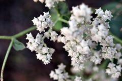 Fiore della chinina del integrifolium_wild del Parthenium Fotografia Stock Libera da Diritti