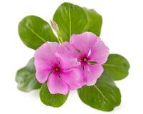 Fiore della chiocciola di scogliera isolato sopra bianco Fotografie Stock