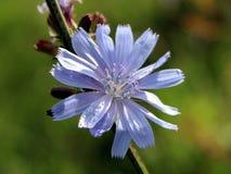 Fiore della cicoria Immagine Stock
