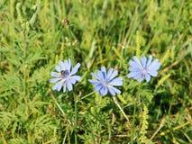 Fiore della cicoria Immagini Stock