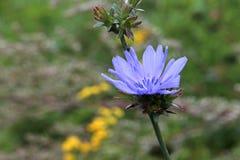 Fiore della cicoria così adorabile e variopinto Fotografia Stock